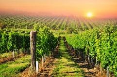 Vineyard sun sunset Royalty Free Stock Images