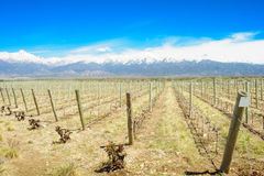 Vineyard, Uco Valley Royalty Free Stock Photography