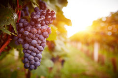 Vineyards at sunset in autumn harvest Royalty Free Stock Image