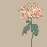 Vintage  Chrysanthemum – Illustration Stock Images