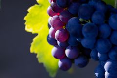Violet wine grapes Royalty Free Stock Image
