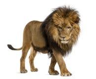 Vista laterale di un leone che cammina, guardante giù, panthera Leo, 10 anni Immagini Stock Libere da Diritti