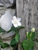 Vit blomma på träbakgrund Arkivfoto