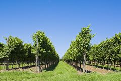 Viticulture Stock Images