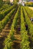 Viticulture Stock Photos