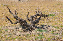Viticulture Royalty Free Stock Images