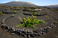 Viticulture  winery lanzarote spain la Royalty Free Stock Images