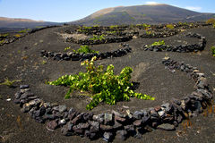 Viticulture  winery lanzarote Royalty Free Stock Photos