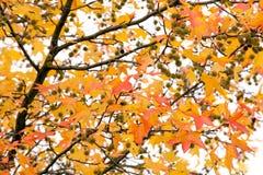 Vivid autumn tree Royalty Free Stock Photography