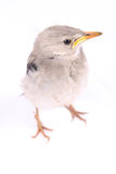 Vivid birdie Stock Photography