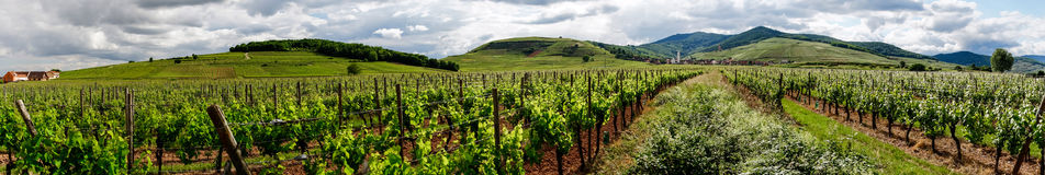 Vivid colors of vineyards Royalty Free Stock Images
