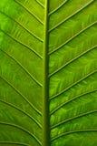 Vivid Leaf Royalty Free Stock Image