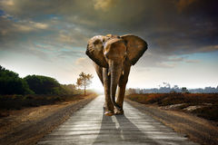 Walking Elephant Royalty Free Stock Image