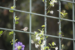 Warbler on fence Royalty Free Stock Photography