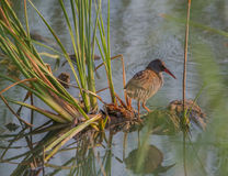 Water Rail with reed plants Stock Image
