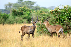 Waterbuck males Stock Images