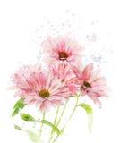 Watercolor Image Of Chrysanthemum Royalty Free Stock Photos