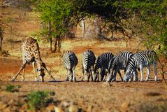 At a waterhole in South Africa Royalty Free Stock Image