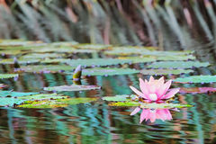 Waterlily In Pond Stock Photo