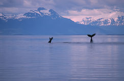 Whales Stock Photography