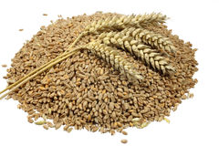 Wheat grains and cereals spike. Wheat isolated on white background Royalty Free Stock Images