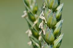 Wheat spike Royalty Free Stock Photos