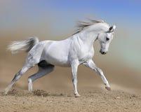 White arabian horse runs gallop in dust desert Royalty Free Stock Photos