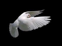 White Dove in Flight 10 Stock Images
