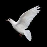 White Dove in Flight 11 Stock Images