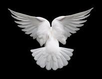 White Dove in Flight 2 Royalty Free Stock Photo