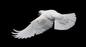 White Dove in Flight 8 Royalty Free Stock Image