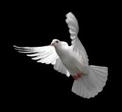 White Dove in Flight 9 Royalty Free Stock Photo
