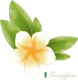 White frangipani flower, eps-10 Royalty Free Stock Photography