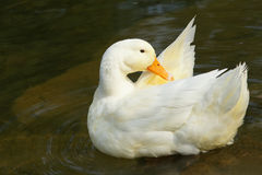White goose Royalty Free Stock Photography
