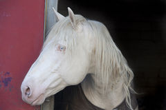 White Horse Head Royalty Free Stock Images