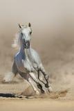White  horse run Stock Photo