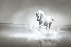 White horse running through water Royalty Free Stock Photo