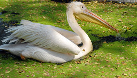 White migratory pelican bird Royalty Free Stock Images