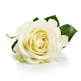 White Rose with Stem Royalty Free Stock Image