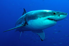 White Shark in blue water Stock Images