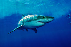 White Shark Royalty Free Stock Image