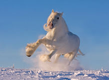 White shire horse running in the snow Royalty Free Stock Photography