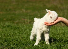 Baby goat Stock Image