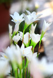 White spider lilly Stock Image