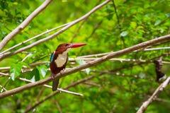 White-throated Kingfisher bird Stock Images