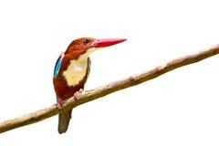 White-throated Kingfisher bird Stock Photos