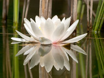 White water lilly Royalty Free Stock Images