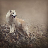 White wolf Stock Photos