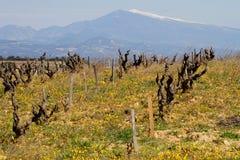 Wijngaard en Mont Ventoux Royalty-vrije Stock Afbeeldingen