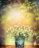 Wild daisies in retro bucket on wooden table over beautiful nature background Stock Photos